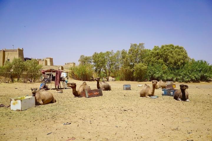 砂漠キャンプで待機するラクダちゃんたち
